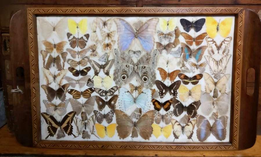 1930's Butterfly specimen tray
