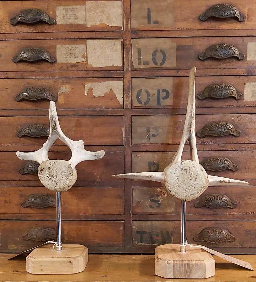 Mounted Humpback Whale vertebrae