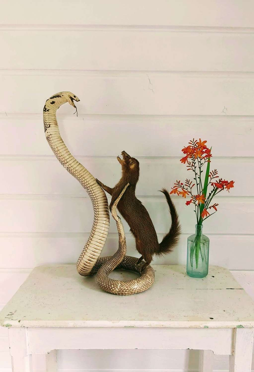 Early 20th century Snake and Mongoose taxidermy display